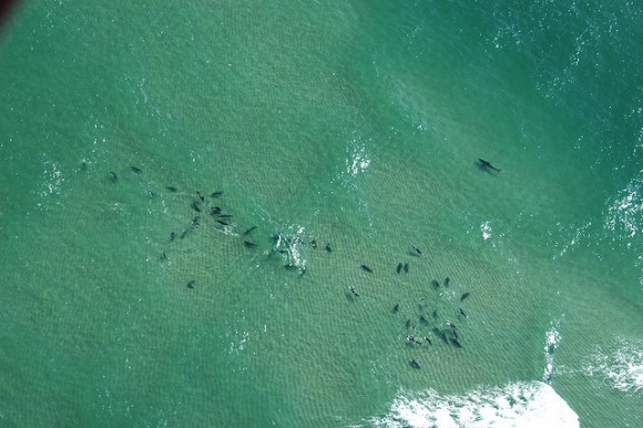 Where there are groups of seals, there are sharks. Here, a white shark swims close to a pack of grey seals in the shallow water off Lighthouse Beach in Chatham, Massachusetts. Photo credit: Massachusetts Office of Energy and Environment