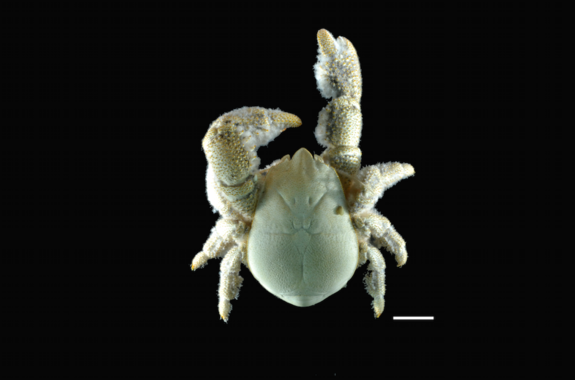A close up of a male yeti crab (K. tyleri) via NERC (National Environment Research Council).