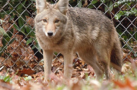 Don't fence me in: a coyote finds Portland, Oregon a perfectly good habitat. Photo credit: automotocycle/flickr