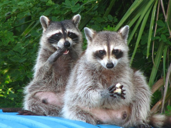 Undaunted: raccoons find an easy meal behind a pizza shop in Florida. Photo credit: Christina Welsh/flickr