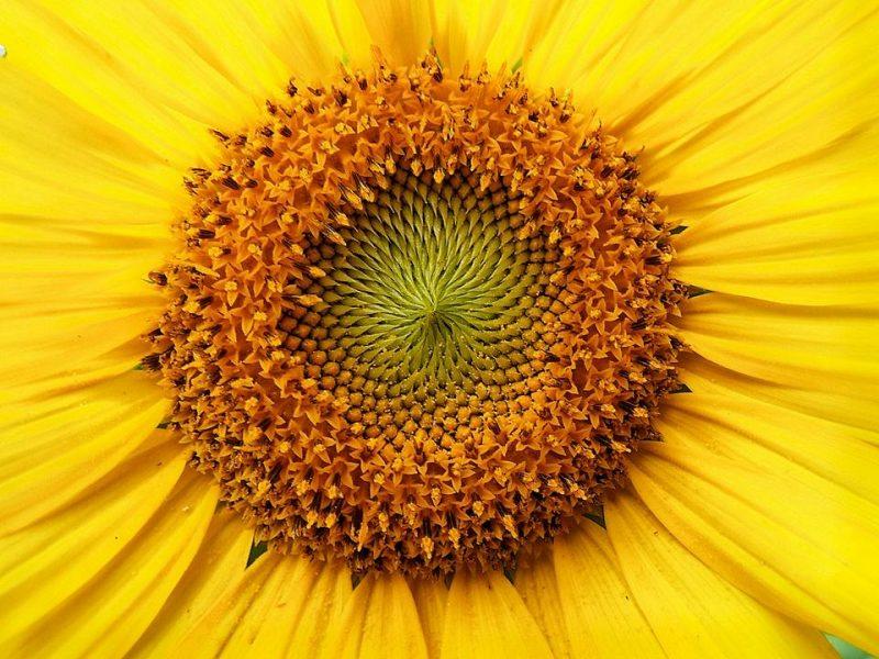 How Sunflowers Follow The Sun