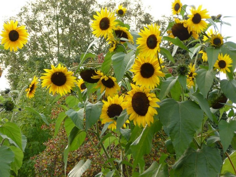 A stand of tall yellow sunflowers with wide round black centers.