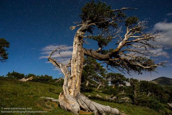 View larger. | 'Bristlecone Survivor,' by Daniel McVey.  Visit Daniel McVey's website.