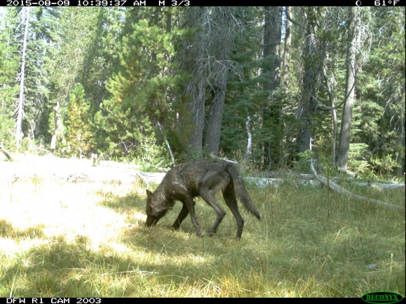 Adult wolf in Shasta Pack. Image credit: CDFG