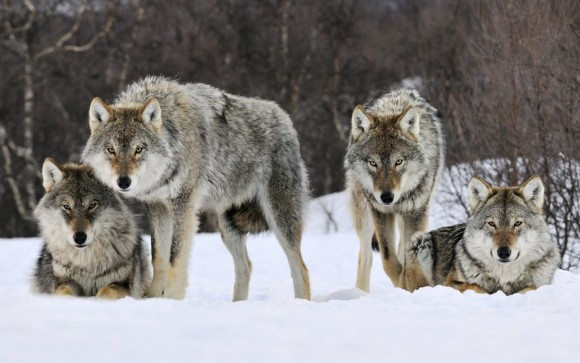Gray wolves in snow. Image credit: University of Buffalo
