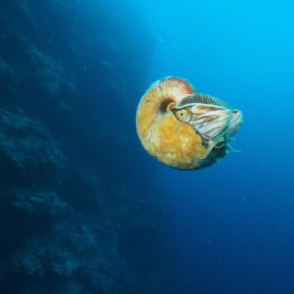 The nautilus known as Allonautilus scrobiculatus off the coast of Ndrova Island in Papua New Guinea. Image via Peter Ward