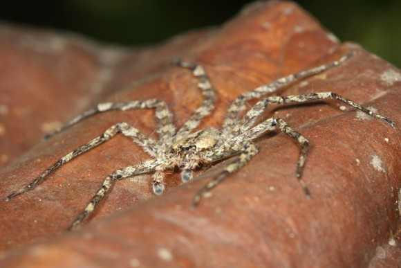 This spider from the genus Selenops is about two inches across and hunts in the tree canopy at night for its prey.Photo credit: Stephen Yanoviak / University of Kentucky.