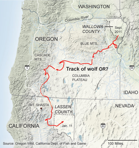 Route taken by Wolf OR-7 on his first trip from Oregon into California, showing his path close to  Mt. Shasta. Image credit: NYTimes