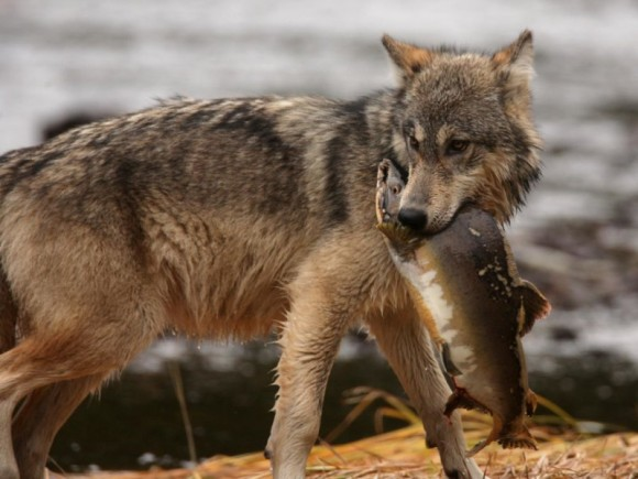 A coastal wolf is hunting salmon in British Columbia, Canada. Photo credit: Guillaume Mazille
