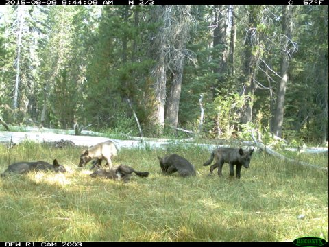 The 5 wolf pups of the Shasta Pack. Image credit: CDFG