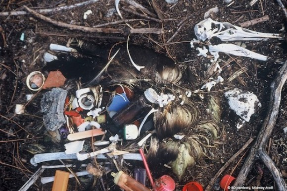 Albatross carcass found on Midway Island in the central Pacific Ocean in the 1990s. Image credit: Britta Denise Hardesty.