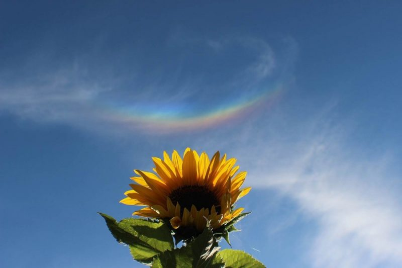 Large backlit sunflower with arc like upside down rainbow in the sky above it.