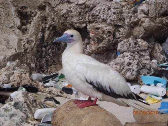 This is a red-footed booby on Christmas Island. Photo credit: CSIRO