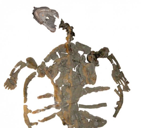 The skeleton of the fossil sea turtle intact and is almost 2 feet (0.6 meters) long. © PaleoBios / Cadena.  Via Senckenberg.