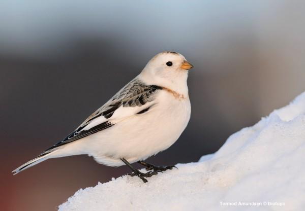Snow bunting in Norway. Image credit: Tormod Amundsen