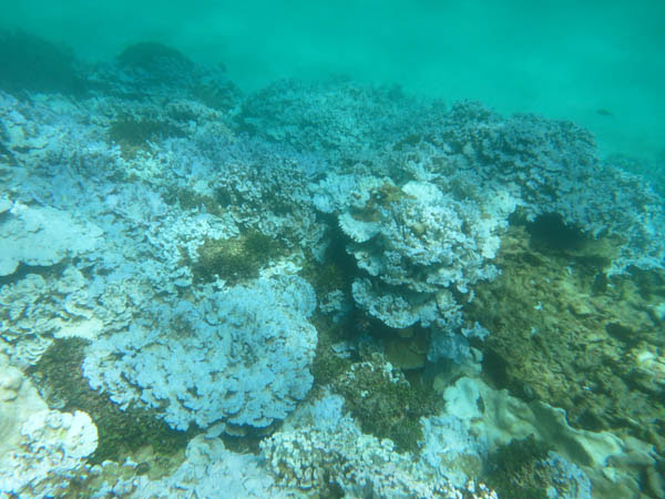 Extensive stand of severely bleached coral at Lisianski Island in the Papahanaumokuakea Marine National Monument in Hawaii, documented during an August 2014 NOAA research mission. Photo credit: NOAA