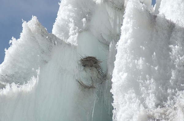 Nest of white-winged diuca finch, on Quelccaya Glacier in Peru. Image credit: Doug Hardy/Cornell University
