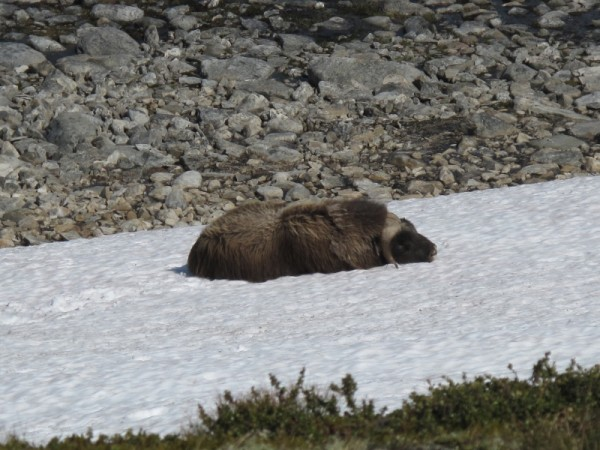 Musk ox resting on snow patch in Norway. Image credit: Tord Bretten, SNO