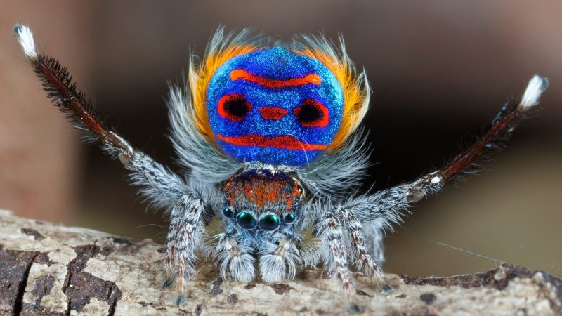 Cute soft-furred spider with vivid blue, red and yellow pattern on abdomen.