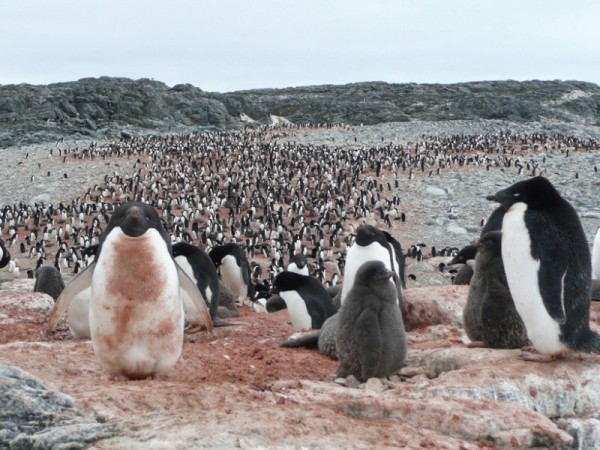 Over the past 14,000 years, Adélie penguin numbers in East Antarctica increased 135-fold because of disappearing glaciers and sea ice. The red staining is a mixture of mud and bird guano. Photo credit: Louise Emmerson