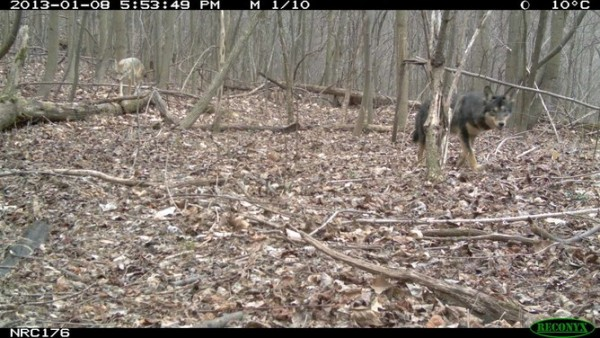 A dark eastern coyote is caught on camera trap as it hunts with his better-camouflaged pack mate in North Carolina. This German shepherd-like coloration probably comes from a dog gene that moved into the coyote gene pool in a hybridization event ~50 years ago.