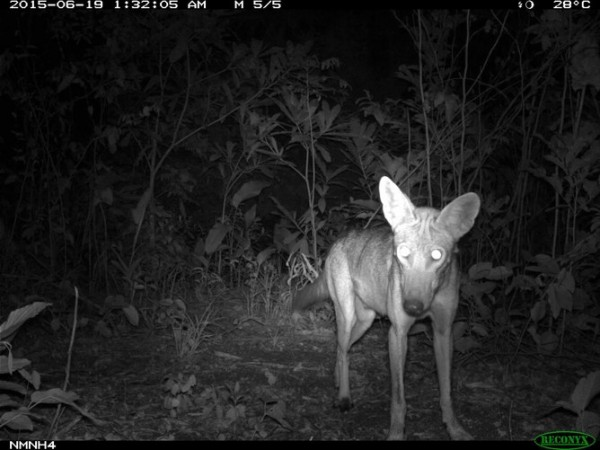 A doglike coyote stares back at a camera trap in Eastern Panama. Hybridization with dogs is most likely along the leading edge of expanding coyote populations, where same-species breeding opportunities are hard to come by. No genetic data exist to test this idea in Central American coyotes.