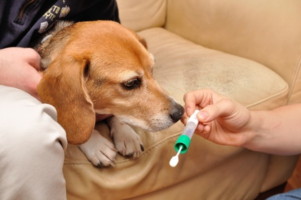 A beagle considers making the saliva donation. Photo credit: Stephen Schaffner