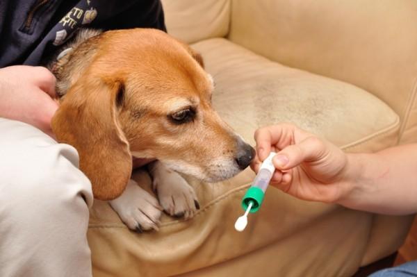 A beagle considers making the saliva donation. Photo credit: Stephen Schaffner