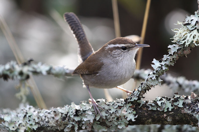 photograph of a bewicks wren taken in california during the 112th christmas bird count by bing wong this years bird count is the 118th - Audubon Christmas Bird Count