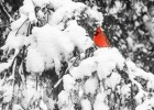 xmas-birdcount2015-cardinal