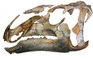 Eotrachodon orientalis skull Image credit: Albert Prieto-Marquez, et al.