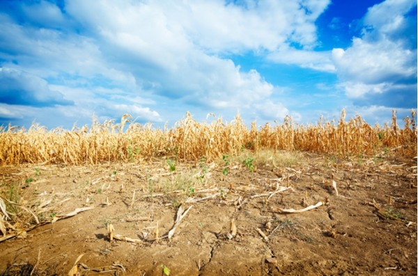 Drought-affected corn in eastern Colorado, via Colorado State University.