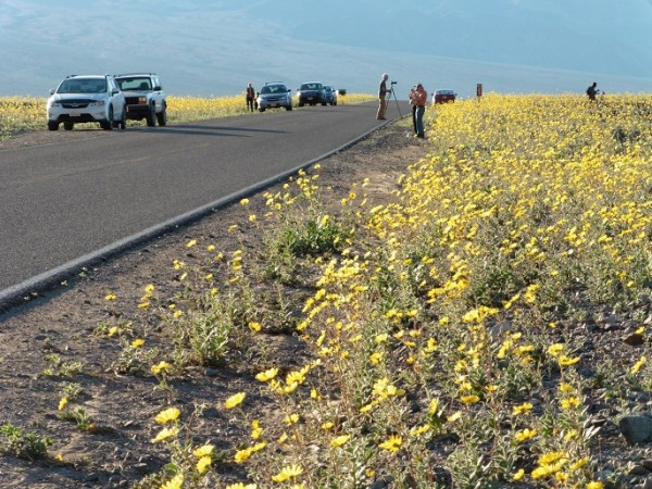 Visitors parked along Badwater Road enjoying Desert Gold wildflowers. Photo credit: NPS