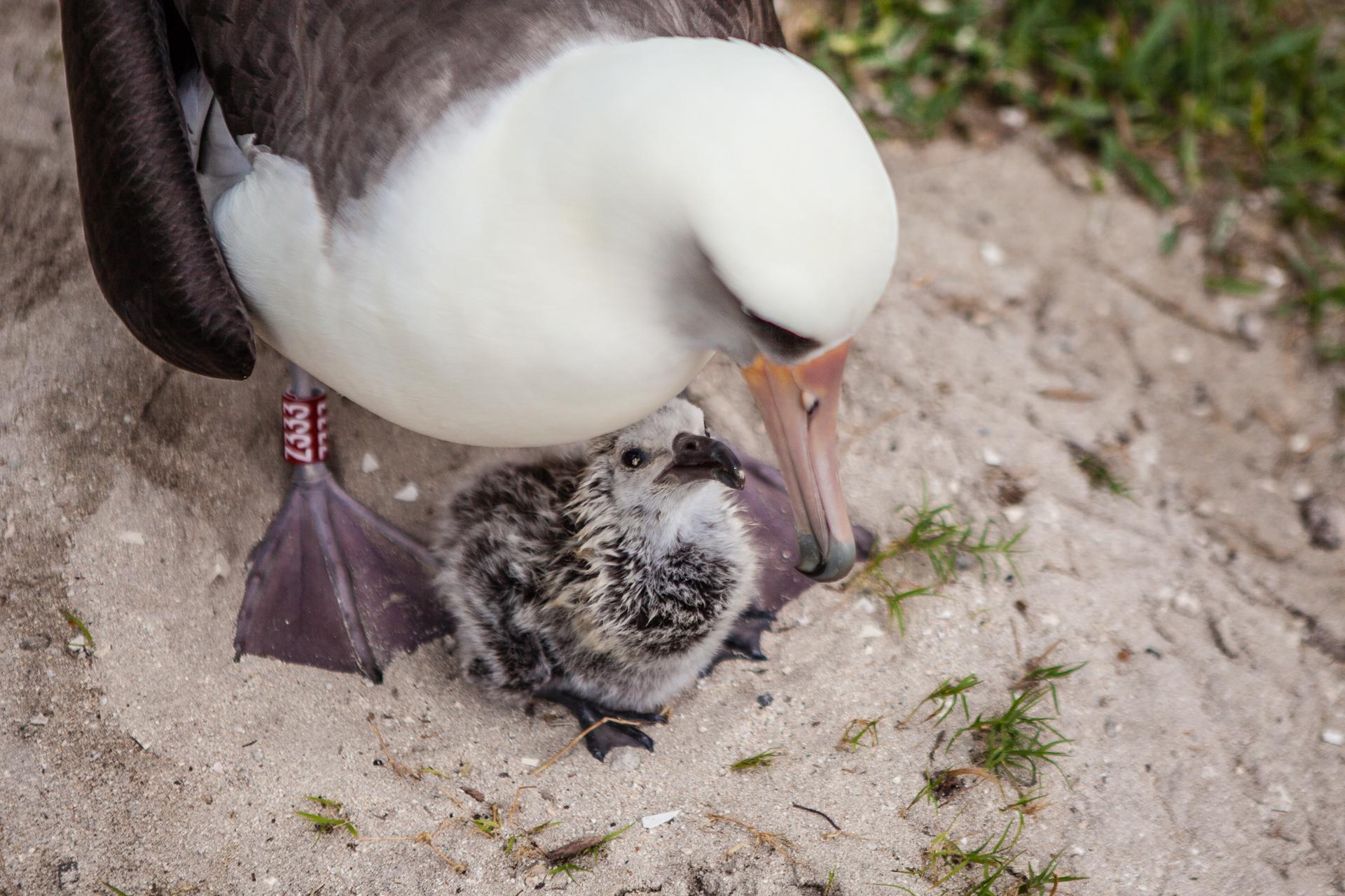 New chick for oldest wild bird Wisdom | Earth | EarthSky