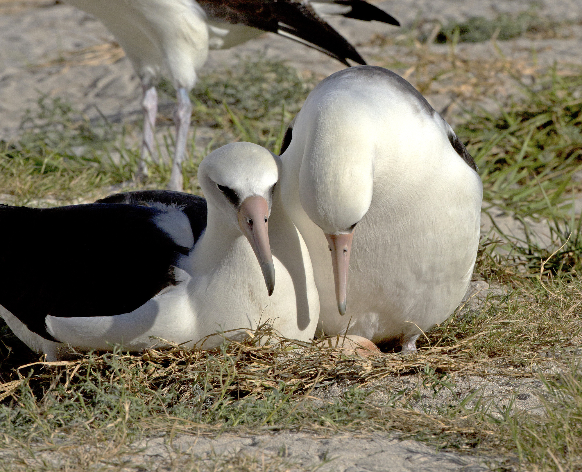 Akeakamai (left) and Wisdom with their egg on November 28, 2015. Image credit: Midway Atoll National Wildlife Refuge.