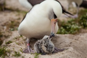 Wisdom and her chick, Kukini, February 10, 2016. Image credit: Midway Atoll National Wildlife Refuge.