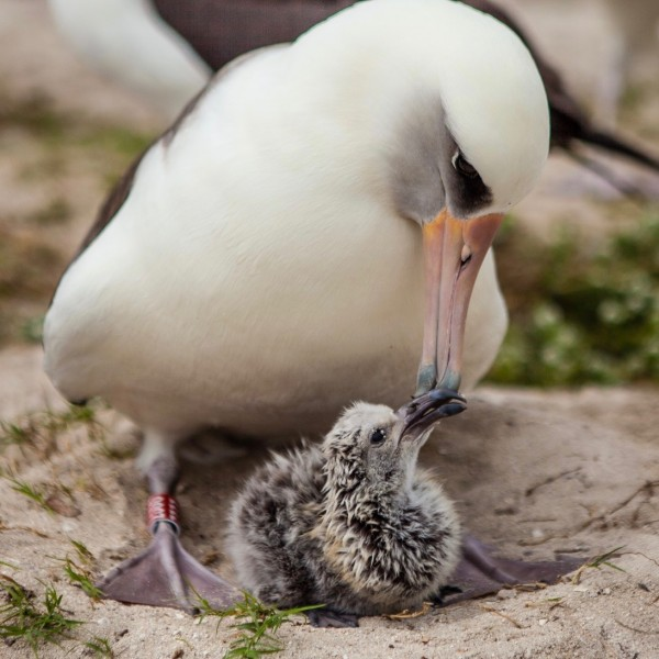 Wisdom and her chick, Kukini, February 10, 2016. Image via Midway Atoll National Wildlife Refuge.