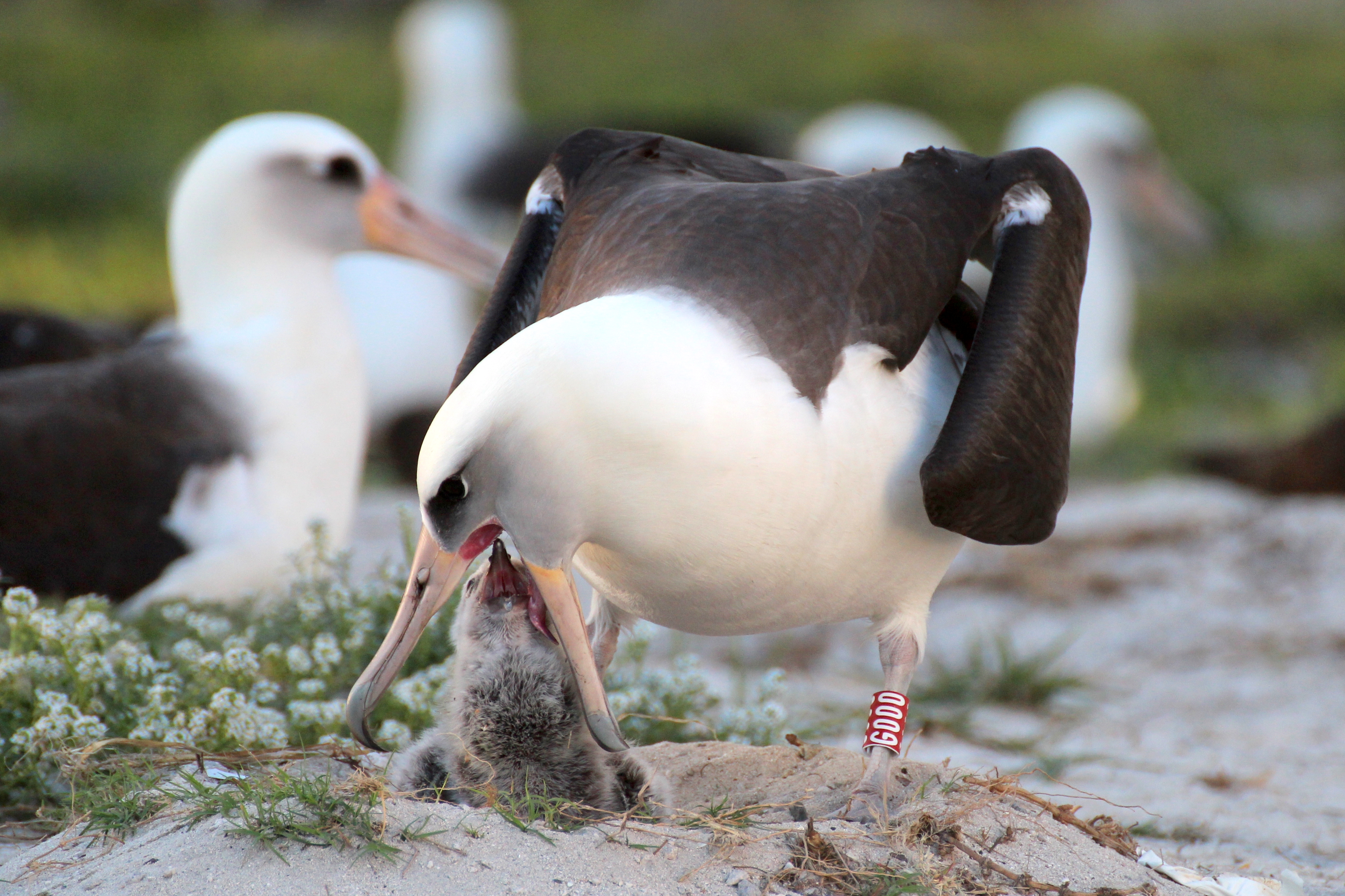 Wisdom's mate, Akeakamai, feeds Kukini one of its first meals. Image credit: Kiah Walker/Midway Atoll National Wildlife Refuge.