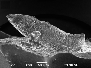 Scanning electron microscope image of a maize weevil silicone replica. Image credit: Prof. Hiroki Obata