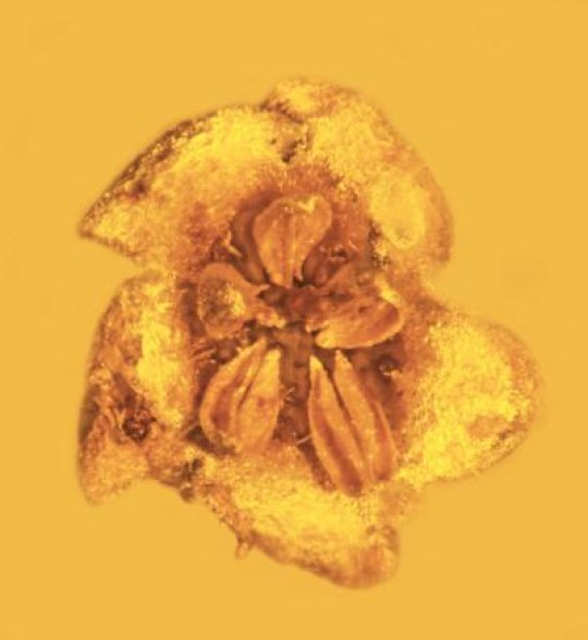 his asterid flower is one of the only fossils of this family ever discovered. Image credit: George Poinar, Jr., courtesy of Oregon State University