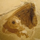 A photo of the modern owl butterfly (Caligo Memnon) shown below a fossilized Kalligrammatid lacewing (Oregramma illecebrosa) shows some of the convergent features independently evolved by the two distantly-related insects, including wing eyespots and wing scales. Image via James Di Loreto / Smithsonian