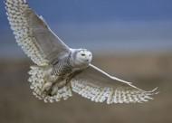 snowy-owl-diane-mcallister-300