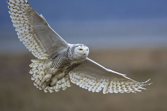 Snowy owl in flight photographed by Diane McAllister. Image via the Great Backyard Bird Count.