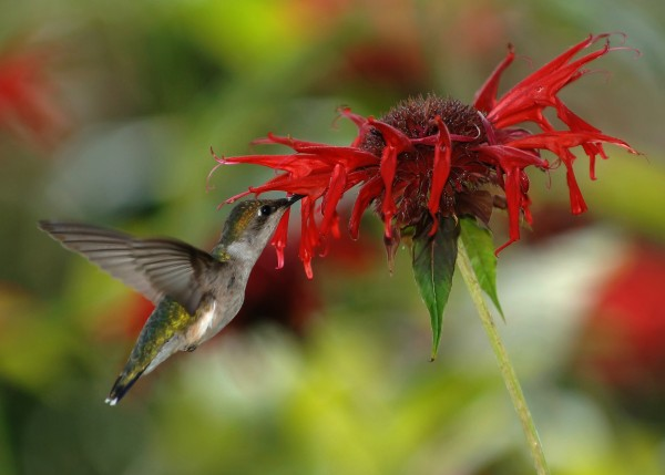 Female ruby-throated hummingbird feeding on nectar from a scarlet beebalm flower. Image credit: Joe Schneid, Louisville, Kentucky.