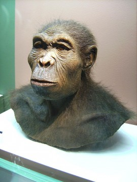 Homo habilis reconstruction at Westfälisches Museum für Archäologie, Herne, Germany. Photo by User:Lillyundfreya via Wikimedia Commons.