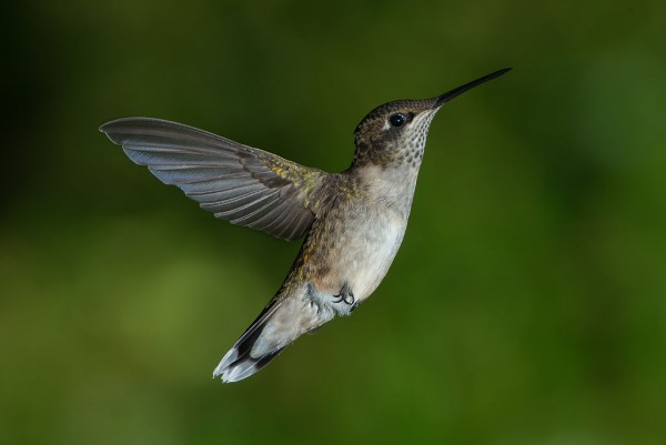 Juvenile male ruby-throated hummingbird. Image credit: Pslawinski via Wikimedia Commons.