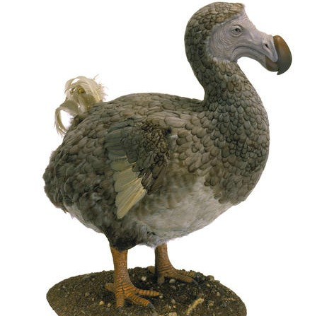 A model of a dodo that will be on display in the Museum's upcoming exhibition about the relationships between birds and dinosaurs, Dinosaurs Among Us. Image: © AMNH/C. Chesek