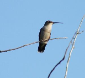 Female ruby-throated hummingbird. Image credit: E.J. Lain.