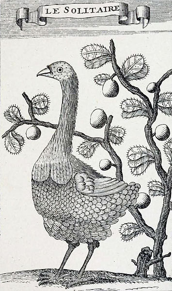 Only known drawing by someone who observed the bird in life, by François Leguat, 1708. Image credit: Wikimedia