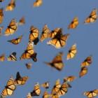 Photo: Monarch Watch